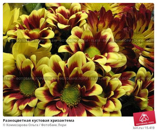 Разноцветная кустовая хризантема, фото № 15419, снято 19 декабря 2006 г. (c) Комиссарова Ольга / Фотобанк Лори
