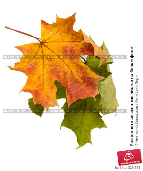 Разноцветные осенние листья на белом фоне, фото № 326751, снято 6 февраля 2007 г. (c) Анатолий Заводсков / Фотобанк Лори