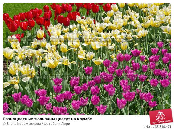 Разноцветные тюльпаны цветут на клумбе. Стоковое фото, фотограф Елена Коромыслова / Фотобанк Лори