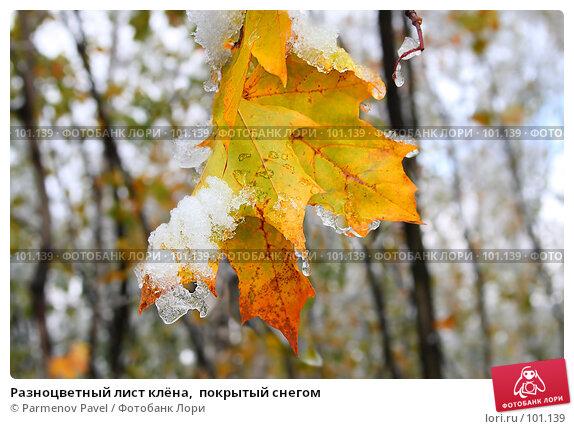 Разноцветный лист клёна,  покрытый снегом, фото № 101139, снято 16 октября 2007 г. (c) Parmenov Pavel / Фотобанк Лори