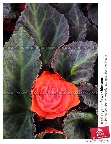 Купить «Red Begonia flower blossom», фото № 13086159, снято 21 апреля 2018 г. (c) PantherMedia / Фотобанк Лори