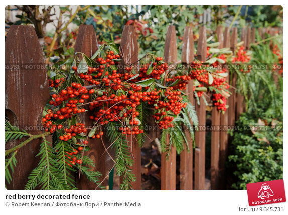 Купить «red berry decorated fence», фото № 9345731, снято 17 сентября 2019 г. (c) PantherMedia / Фотобанк Лори