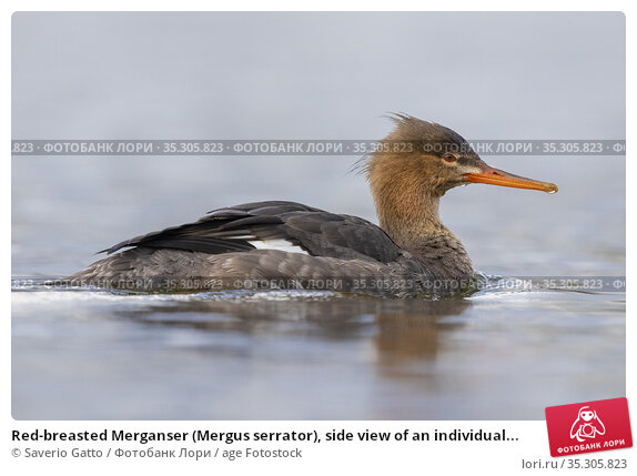 Red-breasted Merganser (Mergus serrator), side view of an individual... Стоковое фото, фотограф Saverio Gatto / age Fotostock / Фотобанк Лори