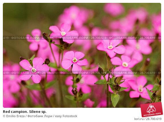 Купить «Red campion. Silene sp.», фото № 28700619, снято 9 мая 2018 г. (c) easy Fotostock / Фотобанк Лори