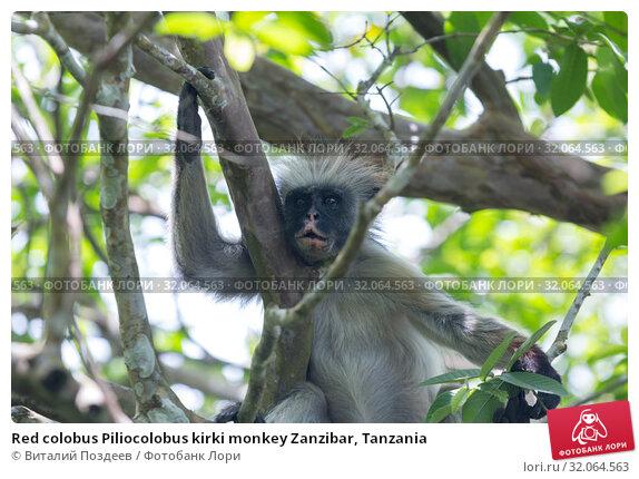 Red colobus Piliocolobus kirki monkey Zanzibar, Tanzania (2017 год). Редакционное фото, фотограф Виталий Поздеев / Фотобанк Лори