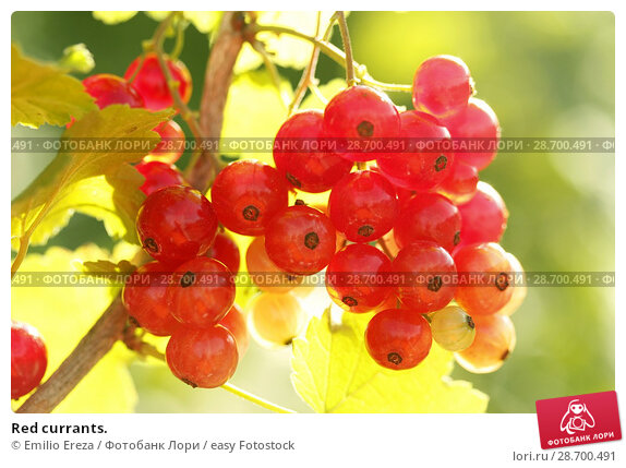 Купить «Red currants.», фото № 28700491, снято 15 июня 2018 г. (c) easy Fotostock / Фотобанк Лори