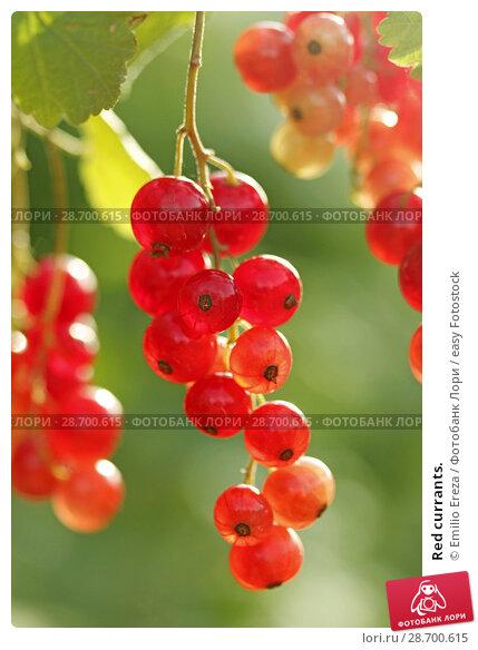 Купить «Red currants.», фото № 28700615, снято 15 июня 2018 г. (c) easy Fotostock / Фотобанк Лори