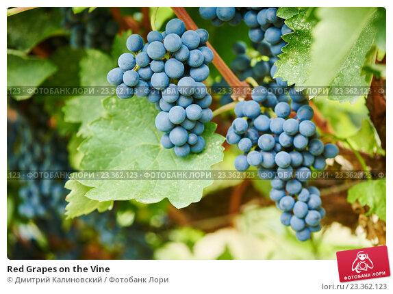 Купить «Red Grapes on the Vine», фото № 23362123, снято 18 сентября 2015 г. (c) Дмитрий Калиновский / Фотобанк Лори
