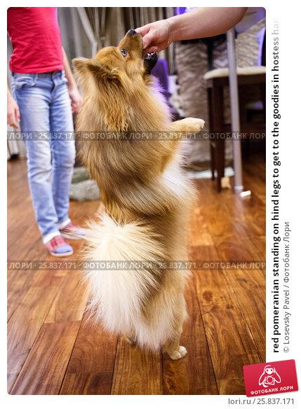 Купить «red pomeranian standing on hind legs to get to the goodies in hostess hand», фото № 25837171, снято 23 октября 2014 г. (c) Losevsky Pavel / Фотобанк Лори