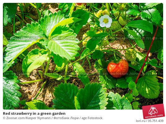 Red strawberry in a green garden. Стоковое фото, фотограф Zoonar.com/Kasper Nymann / age Fotostock / Фотобанк Лори