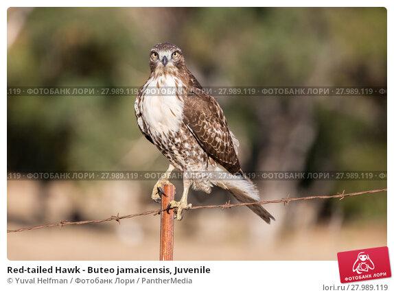 Купить «Red-tailed Hawk - Buteo jamaicensis, Juvenile», фото № 27989119, снято 14 октября 2019 г. (c) PantherMedia / Фотобанк Лори