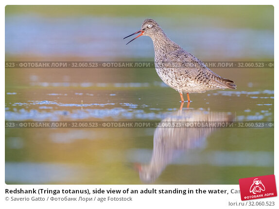 Redshank (Tringa totanus), side view of an adult standing in the water, Campania, Italy. Стоковое фото, фотограф Saverio Gatto / age Fotostock / Фотобанк Лори