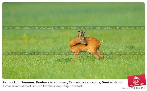 Rehbock im Sommer, Roebuck in summer, Capreolus capreolus, Deutschland... Стоковое фото, фотограф Zoonar.com/Michael Breuer / age Fotostock / Фотобанк Лори