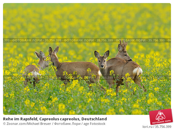 Rehe im Rapsfeld, Capreolus capreolus, Deutschland. Стоковое фото, фотограф Zoonar.com/Michael Breuer / age Fotostock / Фотобанк Лори