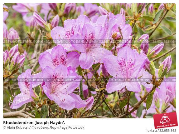 Rhododendron 'Joseph Haydn'. Стоковое фото, фотограф Alain Kubacsi / age Fotostock / Фотобанк Лори
