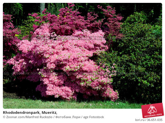 Rhododendronpark, Mueritz, Стоковое фото, фотограф Zoonar.com/Manfred Ruckszio / age Fotostock / Фотобанк Лори