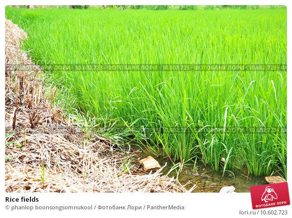 Rice fields. Стоковое фото, фотограф phanlop boonsongsomnukool / PantherMedia / Фотобанк Лори