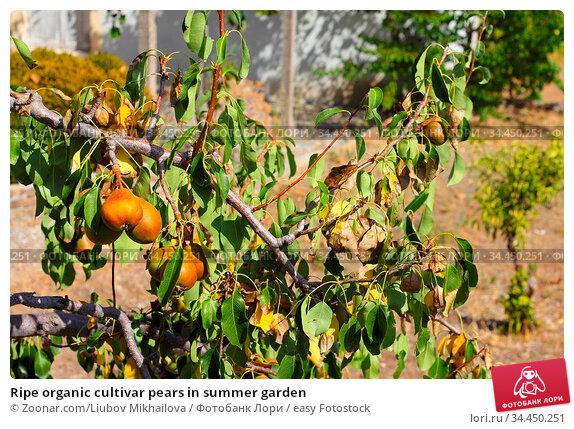 Ripe organic cultivar pears in summer garden. Стоковое фото, фотограф Zoonar.com/Liubov Mikhailova / easy Fotostock / Фотобанк Лори