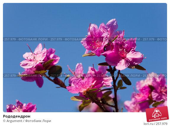 Рододендрон, фото № 257979, снято 20 апреля 2008 г. (c) Argument / Фотобанк Лори