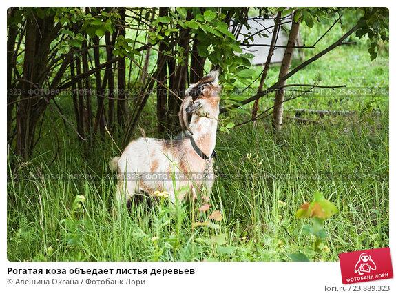 Купить «Рогатая коза объедает листья деревьев», эксклюзивное фото № 23889323, снято 15 июля 2016 г. (c) Алёшина Оксана / Фотобанк Лори