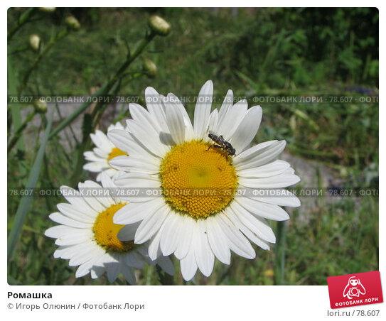 Ромашка, фото № 78607, снято 2 июля 2006 г. (c) Игорь Олюнин / Фотобанк Лори