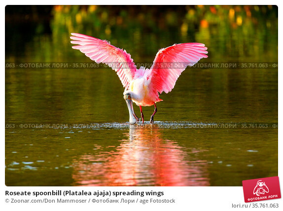 Roseate spoonbill (Platalea ajaja) spreading wings. Стоковое фото, фотограф Zoonar.com/Don Mammoser / age Fotostock / Фотобанк Лори