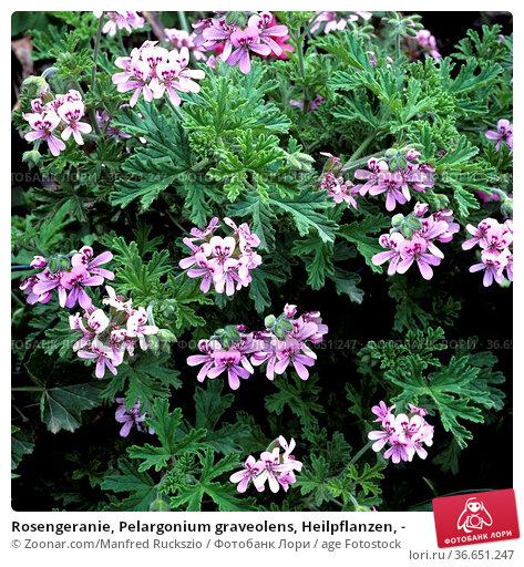 Rosengeranie, Pelargonium graveolens, Heilpflanzen, - Стоковое фото, фотограф Zoonar.com/Manfred Ruckszio / age Fotostock / Фотобанк Лори