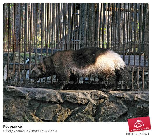 Росомаха, фото № 134371, снято 10 октября 2004 г. (c) Serg Zastavkin / Фотобанк Лори