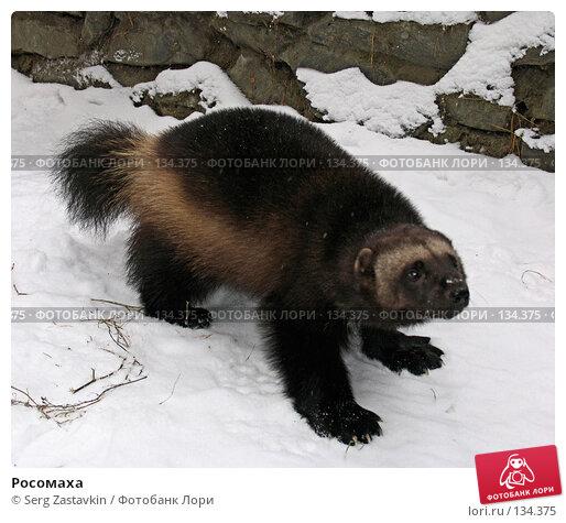 Росомаха, фото № 134375, снято 7 ноября 2004 г. (c) Serg Zastavkin / Фотобанк Лори