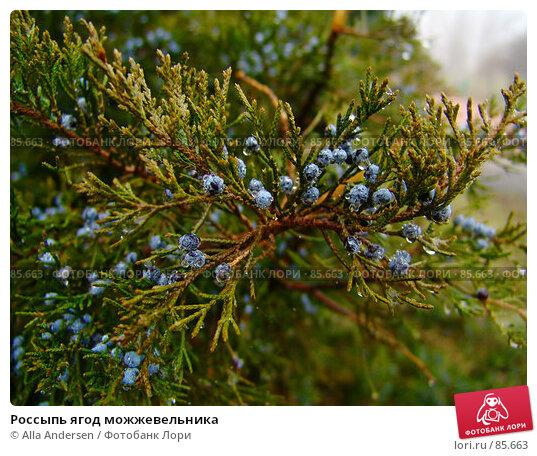Россыпь ягод можжевельника, фото № 85663, снято 25 ноября 2006 г. (c) Alla Andersen / Фотобанк Лори