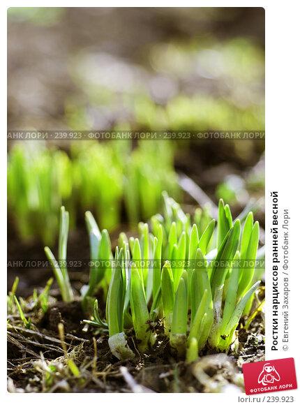 Ростки нарциссов ранней весной, фото № 239923, снято 28 марта 2008 г. (c) Евгений Захаров / Фотобанк Лори