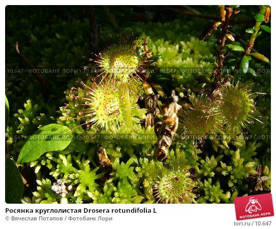 Росянка круглолистая Drosera rotundifolia L, фото № 10647, снято 30 июля 2004 г. (c) Вячеслав Потапов / Фотобанк Лори