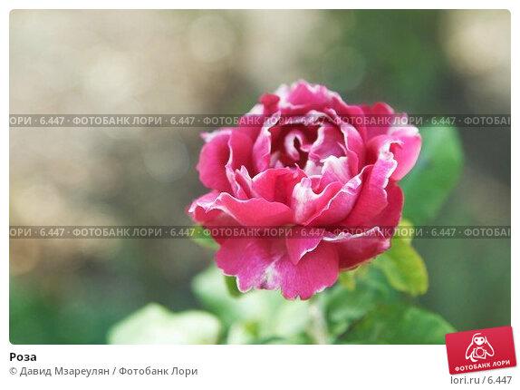 Роза, фото № 6447, снято 30 июля 2006 г. (c) Давид Мзареулян / Фотобанк Лори