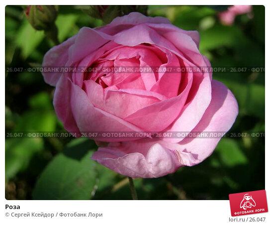 Роза, фото № 26047, снято 8 июля 2006 г. (c) Сергей Ксейдор / Фотобанк Лори