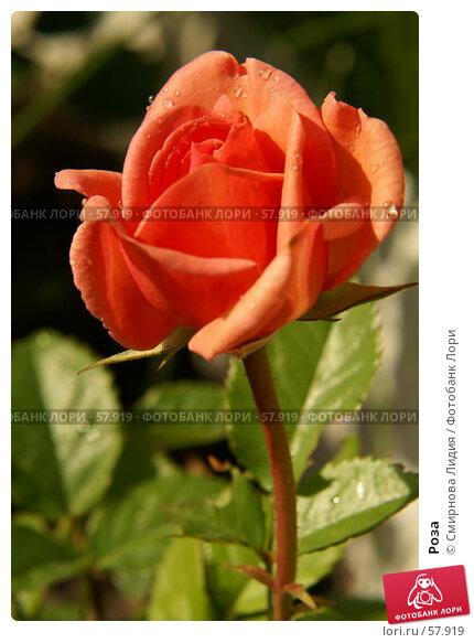 Роза, фото № 57919, снято 1 июля 2007 г. (c) Смирнова Лидия / Фотобанк Лори