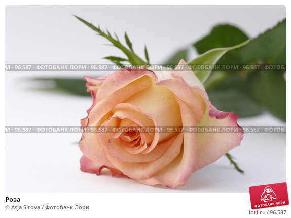 Роза, фото № 96587, снято 6 мая 2007 г. (c) Asja Sirova / Фотобанк Лори