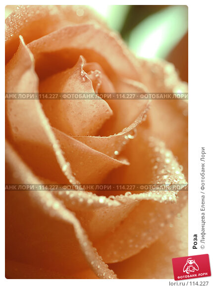 Купить «Роза», фото № 114227, снято 1 ноября 2007 г. (c) Лифанцева Елена / Фотобанк Лори