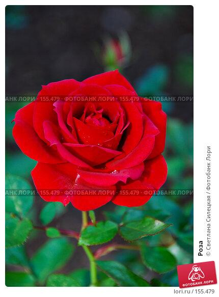 Роза, фото № 155479, снято 2 октября 2007 г. (c) Светлана Силецкая / Фотобанк Лори