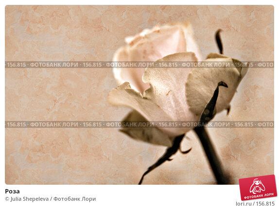 Роза, фото № 156815, снято 4 декабря 2007 г. (c) Julia Shepeleva / Фотобанк Лори