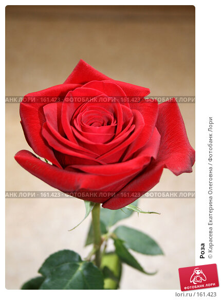 Купить «Роза», фото № 161423, снято 24 июня 2007 г. (c) Карасева Екатерина Олеговна / Фотобанк Лори