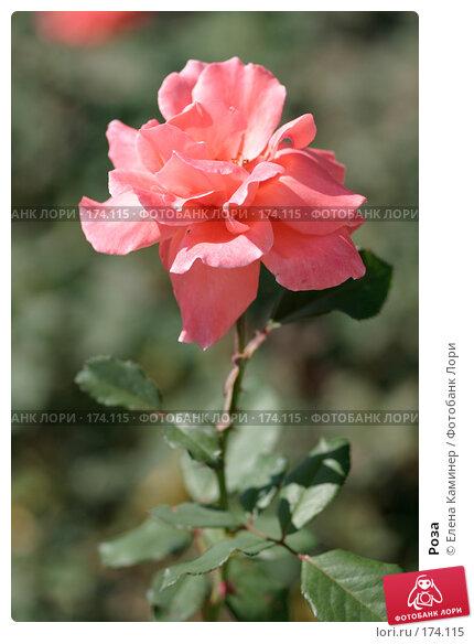 Купить «Роза», фото № 174115, снято 26 сентября 2007 г. (c) Елена Каминер / Фотобанк Лори