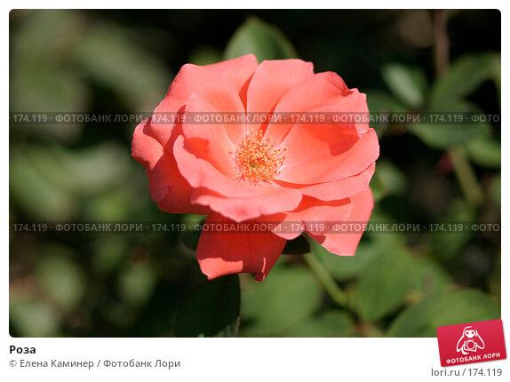 Роза, фото № 174119, снято 26 сентября 2007 г. (c) Елена Каминер / Фотобанк Лори