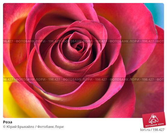 Роза, фото № 198427, снято 3 февраля 2008 г. (c) Юрий Брыкайло / Фотобанк Лори