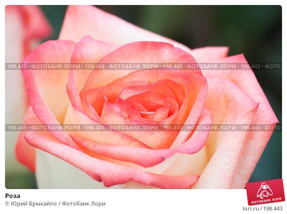 Роза, фото № 198443, снято 3 февраля 2008 г. (c) Юрий Брыкайло / Фотобанк Лори