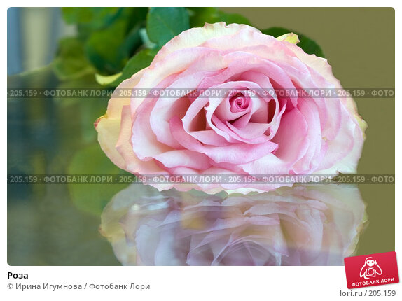 Роза, фото № 205159, снято 19 февраля 2008 г. (c) Ирина Игумнова / Фотобанк Лори