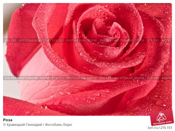 Роза, фото № 215151, снято 6 июня 2004 г. (c) Кравецкий Геннадий / Фотобанк Лори
