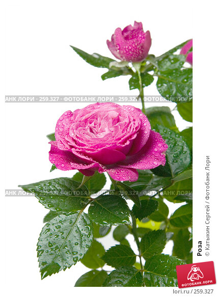 Купить «Роза», фото № 259327, снято 17 апреля 2008 г. (c) Катыкин Сергей / Фотобанк Лори