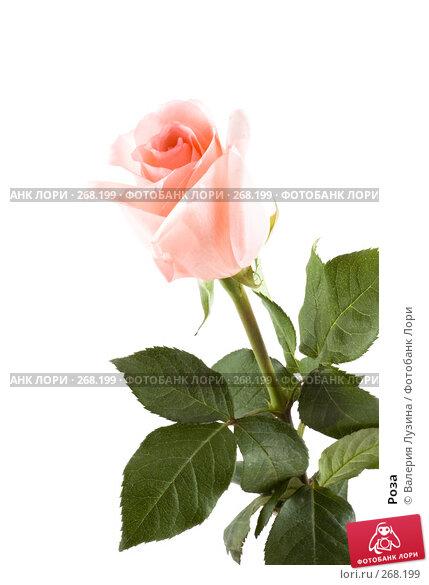 Купить «Роза», фото № 268199, снято 1 марта 2008 г. (c) Валерия Потапова / Фотобанк Лори