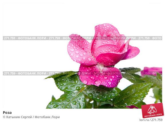 Роза, фото № 271759, снято 17 апреля 2008 г. (c) Катыкин Сергей / Фотобанк Лори