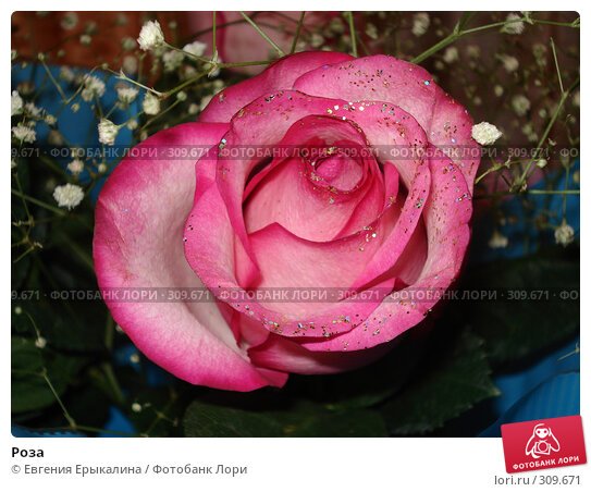 Купить «Роза», фото № 309671, снято 20 октября 2007 г. (c) Евгения Ерыкалина / Фотобанк Лори